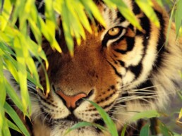A tiger looking through some leaves